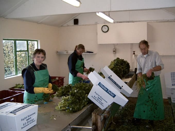 Watercress being packed in the Bunch house.